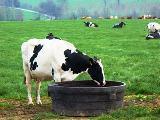 Vache P`H abreuvoir au champ