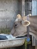 Vache brune abreuvoir aire d`exercice